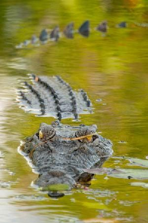 969bb27e6b8a54f1f6c608b218419f63--salt-water-crocodile-amphibians